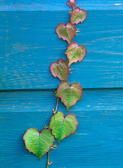 Parthenocissus on blue shed